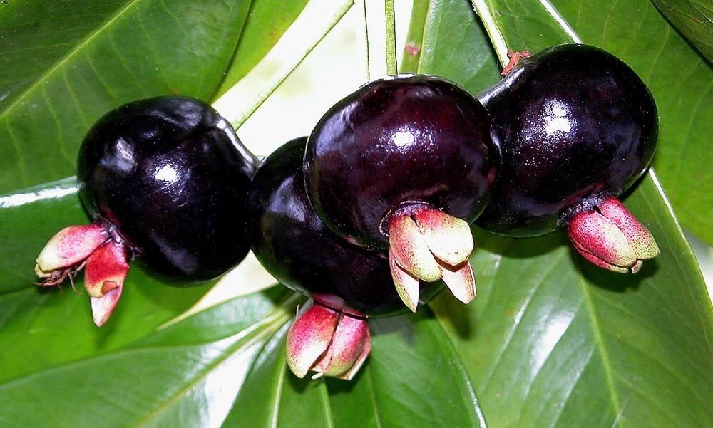 Grumixama fruta: 25 benefícios, informação nutricional e usos