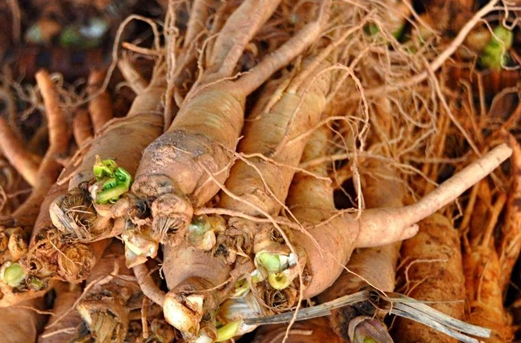 Ashwagandha beneficio