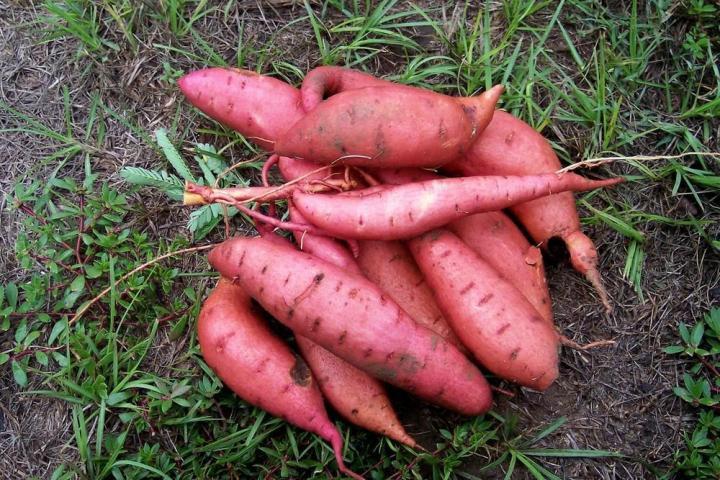 Batata doce: 40 benefícios, informação nutricional e malefícios