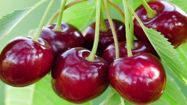 beneficio da cereja