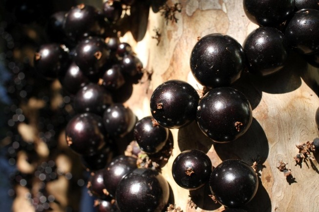 beneficio da jabuticaba
