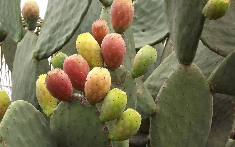 benefício do figo da índia