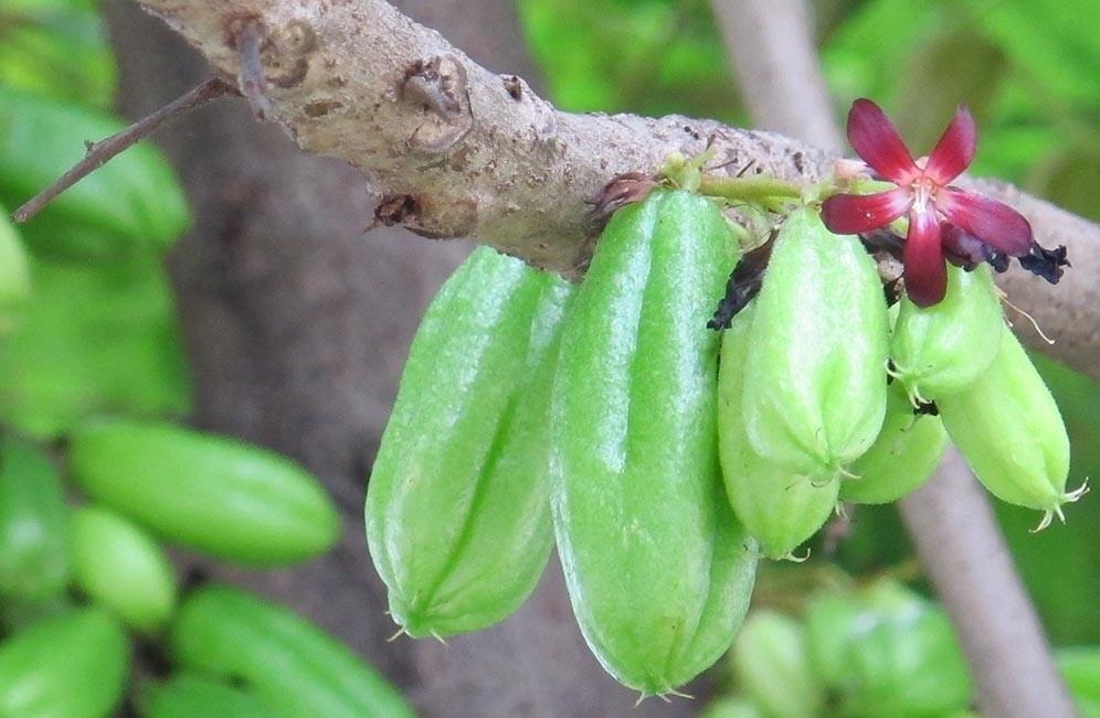 Bilimbi fruta: 25 benefícios, informação nutricional e malefícios