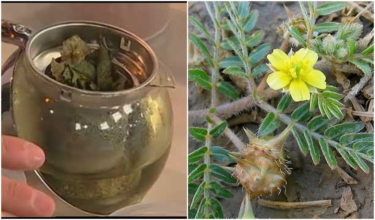 beneficios do cha de tribulus terrestris