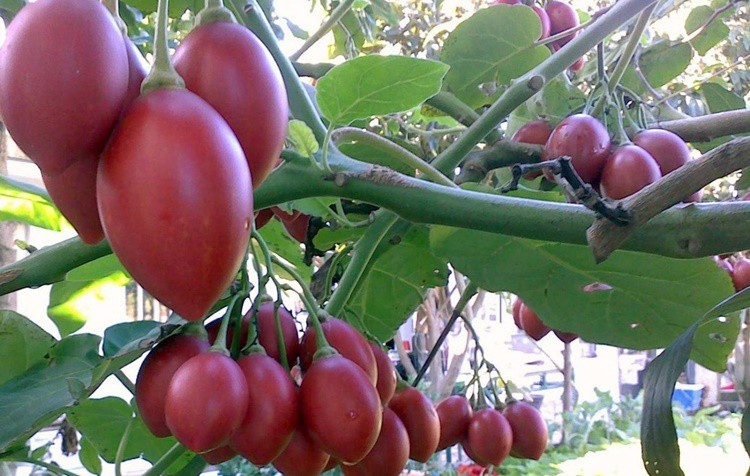 beneficios do tamarillo