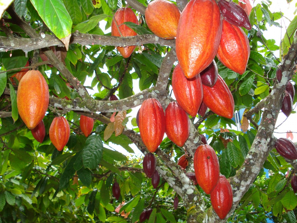 fruta cacau