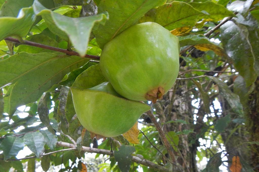Cambuci Fruta