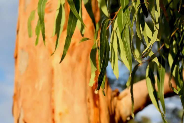 cha de eucalipto e benefico para saude