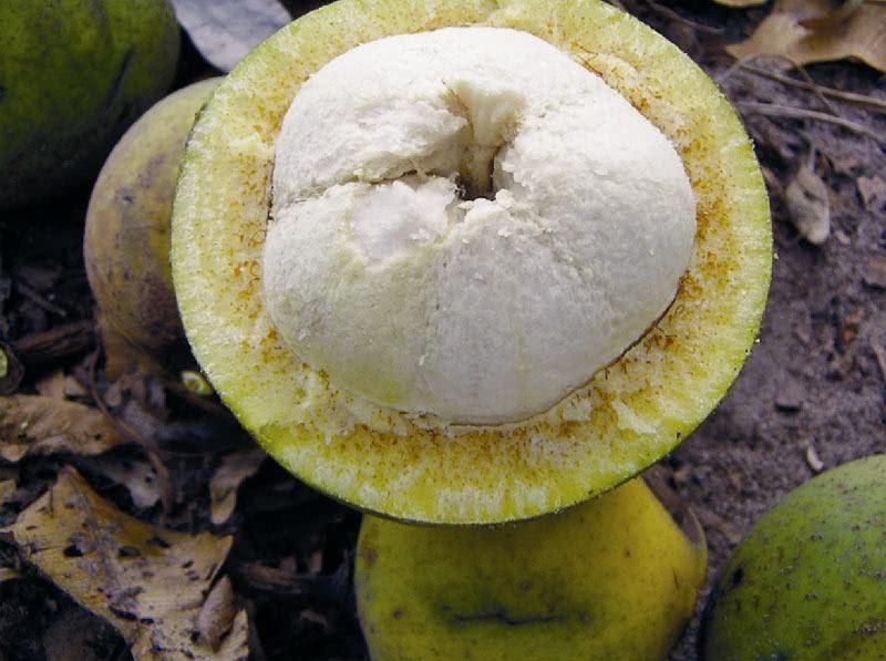 fruta bacuri