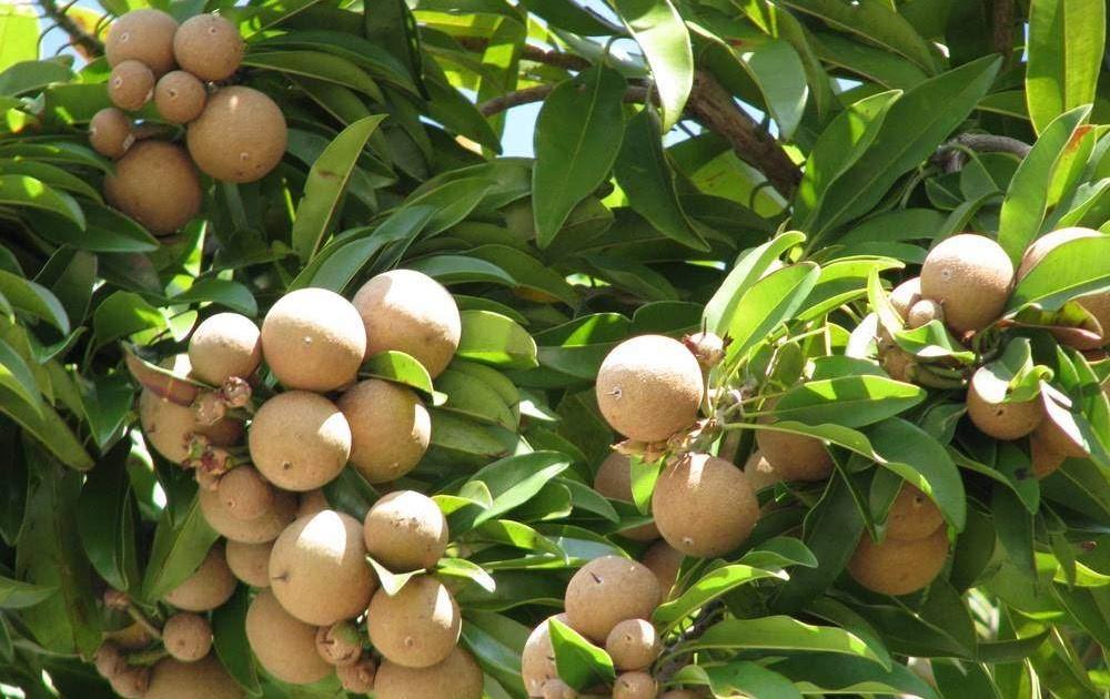 Mamey fruta: 35 benefícios, informação nutricional e malefícios