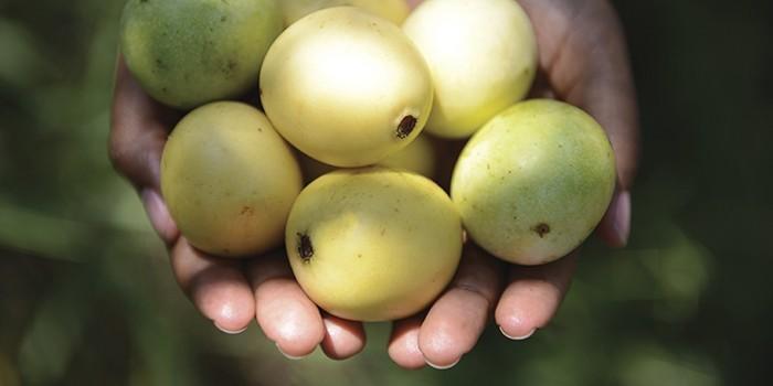 Marula fruta: 25 benefícios, informação nutricional e malefícios