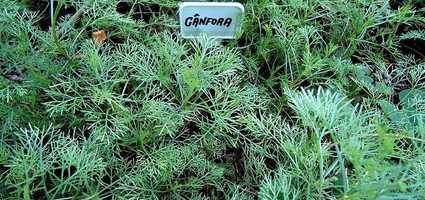 planta canfora