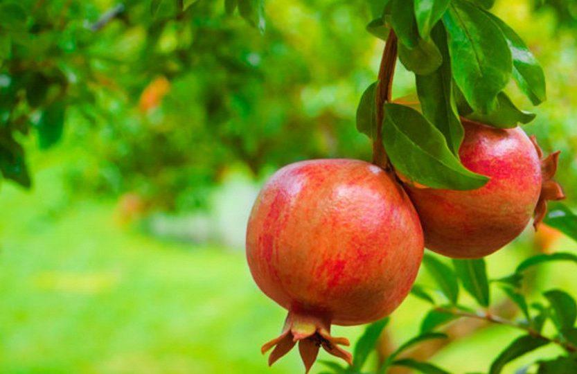 Romã fruta: 40 benefícios e informação nutricional