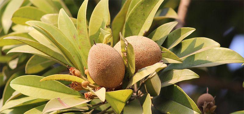 Sapoti fruta: 32 benefícios, informação nutricional e usos