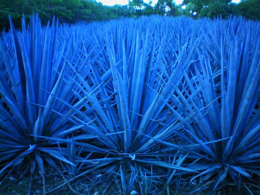 Agave-Azul