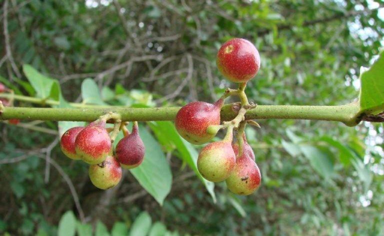 Benefícios da Marmelada Brava