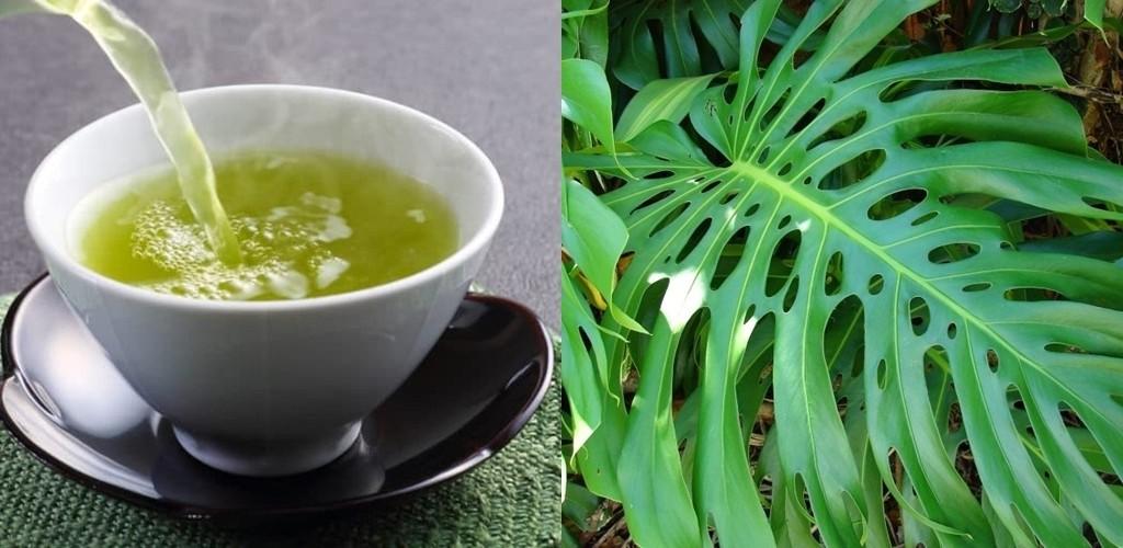 Chá de Bananeira Imbé é bom para quê? para que serve, benefícios e malefícios