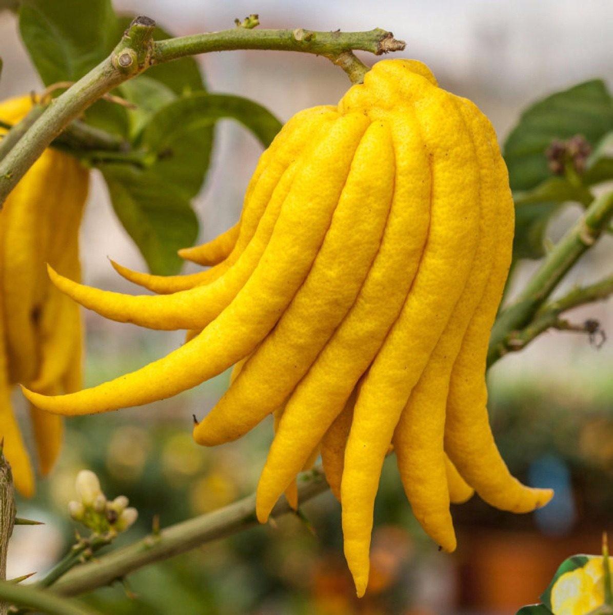 Benefícios da Fruta Mão de Buda
