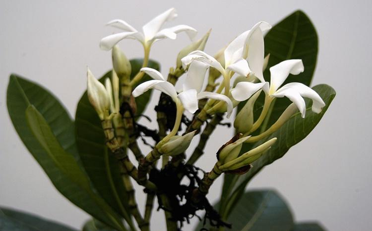 Janaguba