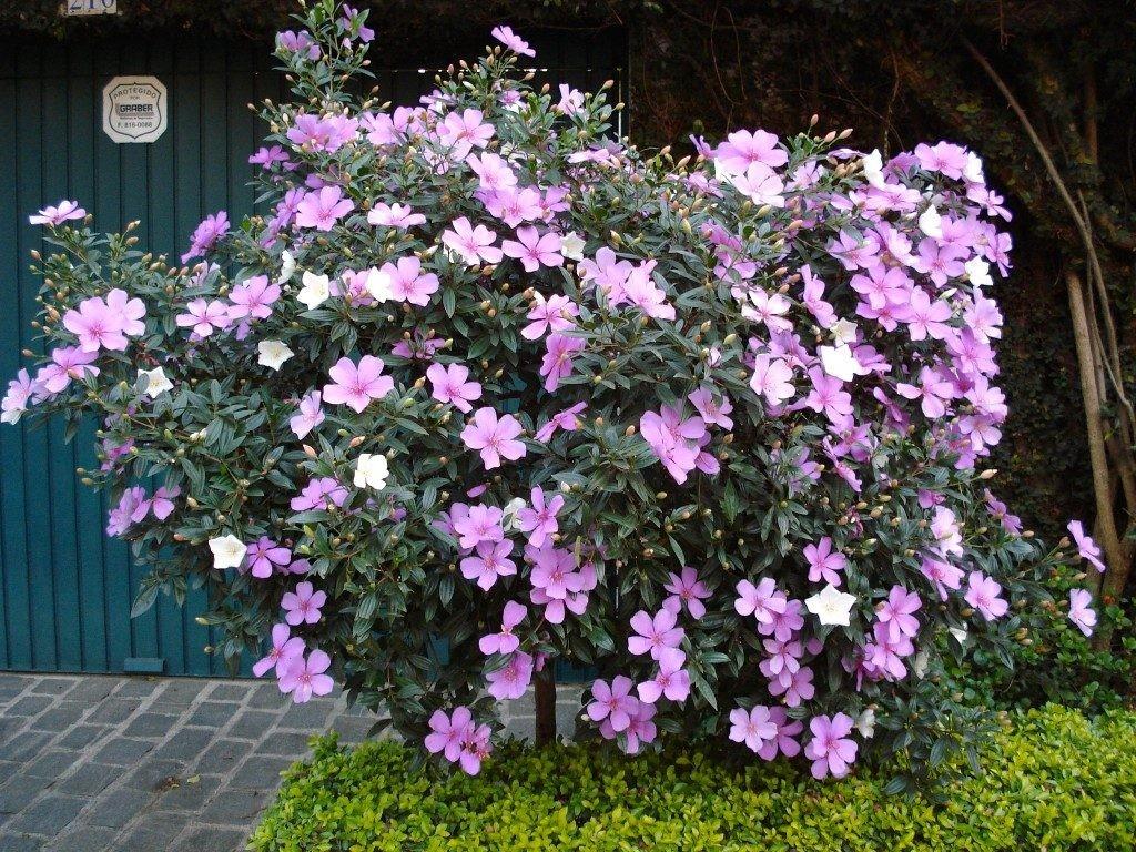 Manacá de Jardim Benefícios