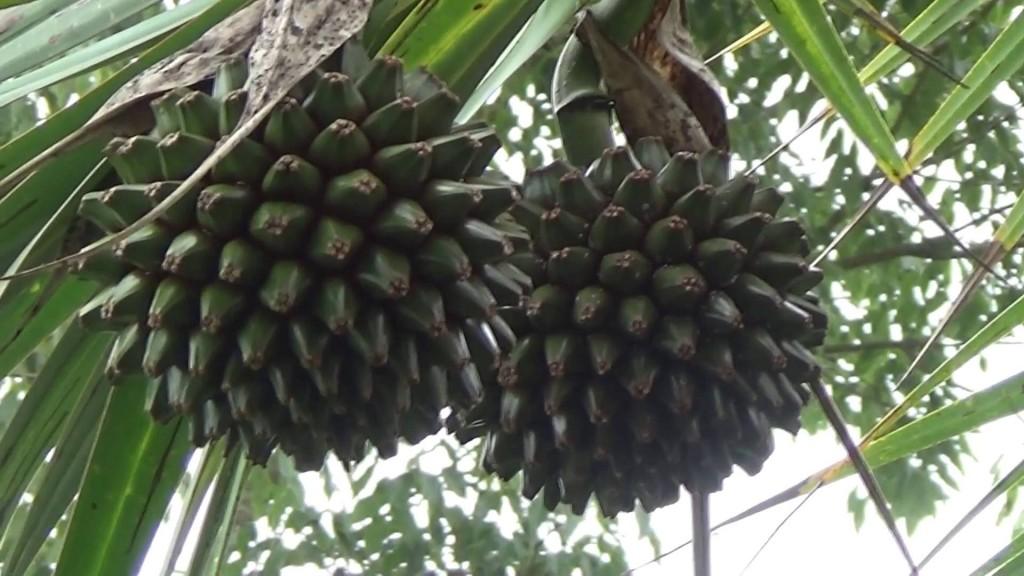 pinhao Madagascar