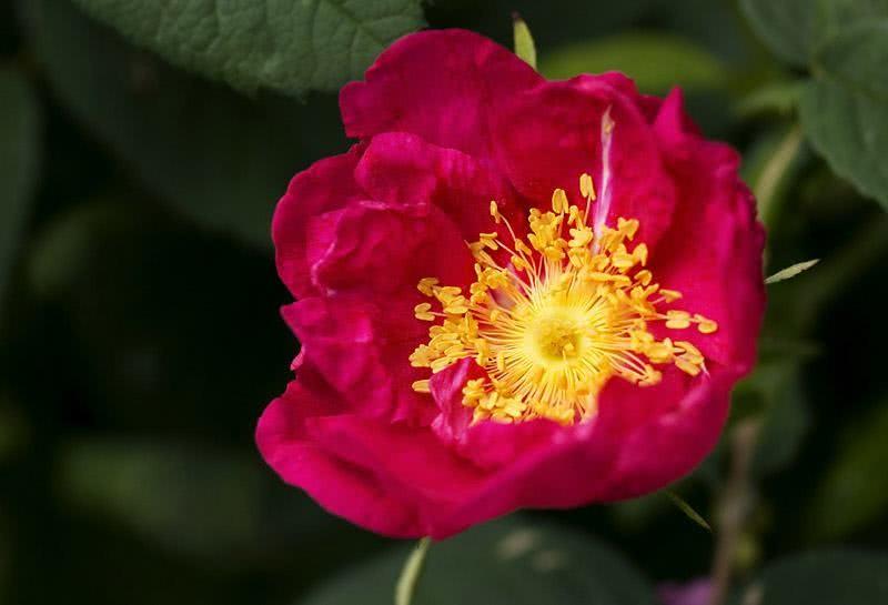 Benefícios da Rosa Rubra