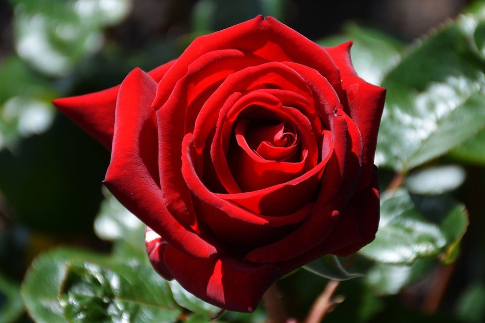Benefícios da Rosa Vermelha