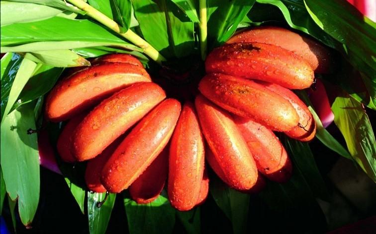 Os Benefícios da Banana Vermelha