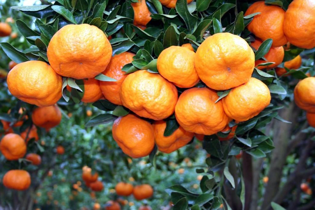 benefícios do suco de bergamota