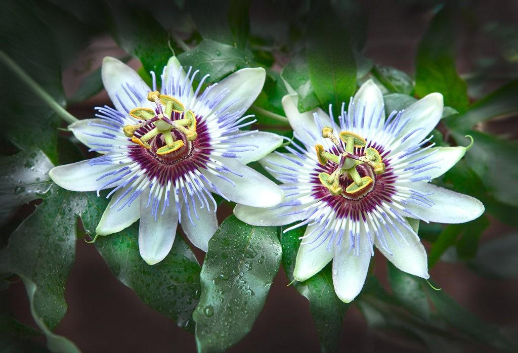 Passiflora é bom para quê? para que serve, benefícios e malefícios