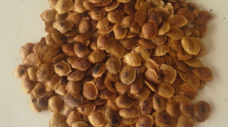 beneficio da semente de sucupira