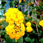 beneficios da lantana