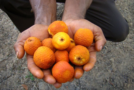 beneficios do caroço de buriti