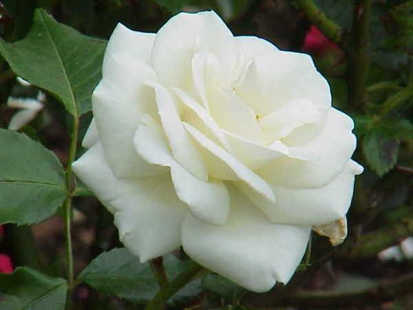 beneficios do cha de rosa branca