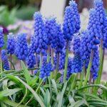 beneficios do jacinto