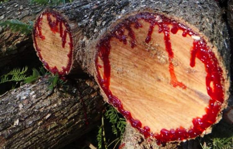Sangue de Dragão é bom para quê? para que serve, benefícios e malefícios