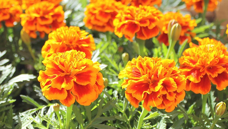 beneficios do tagetes