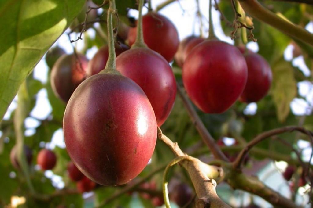 Tomate Arbóreo fruta: 10 benefícios, informação nutricional e malefícios