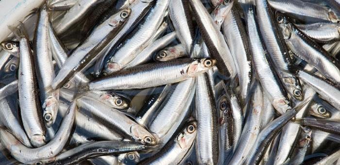 benficios da anchova