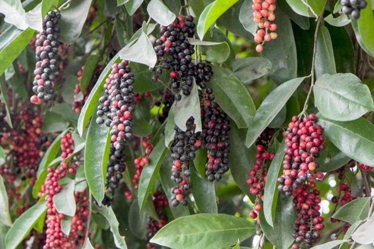 Bignay fruta: 30 benefícios, informação nutricional e malefícios