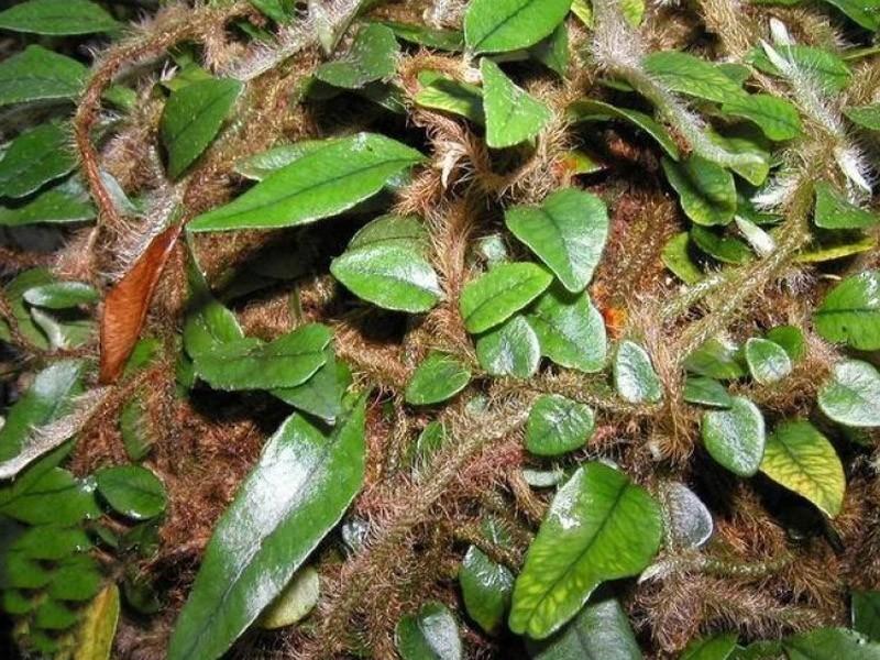 cha de erva silvina origem