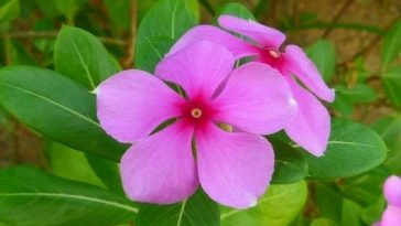 cha de vinca menor beneficios
