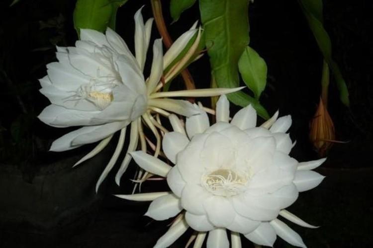 flor da noite