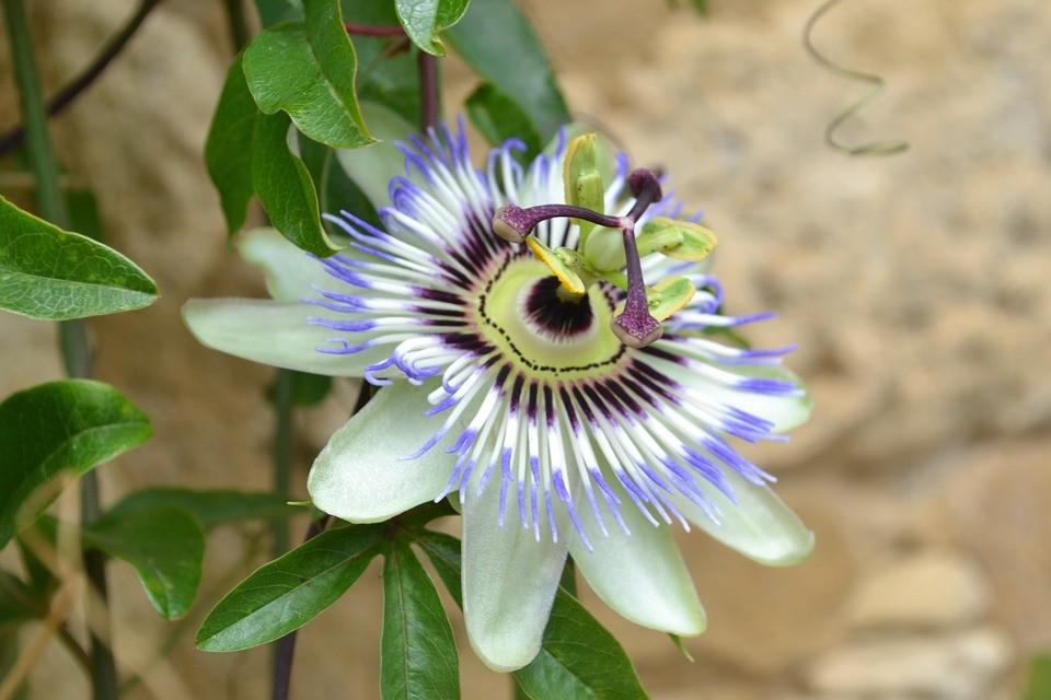 flor da paixão beneficio