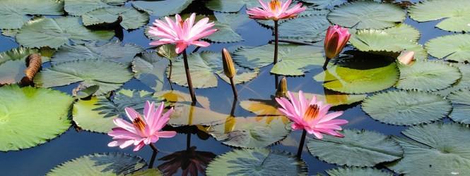 Flor de Lotus é bom para quê? para que serve, benefícios e malefícios
