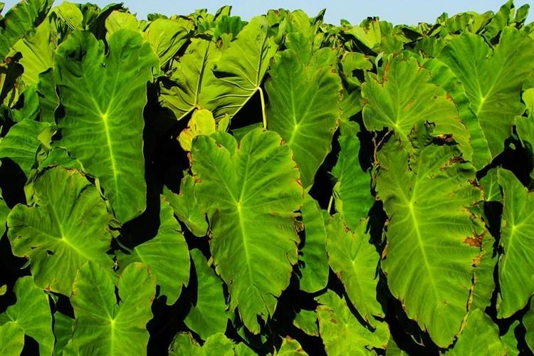 beneficios das folhas de taro