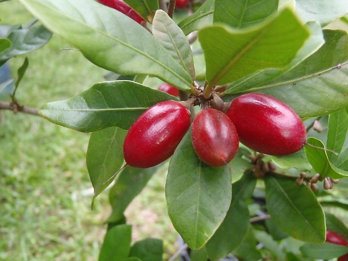 benefícios da fruta milagrosa