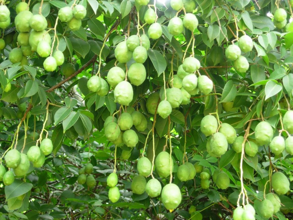 Umbu fruta: 25 benefícios, informação nutricional e malefícios