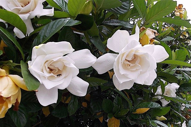 gardenia beneficios