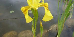 iris amarelo beneficios